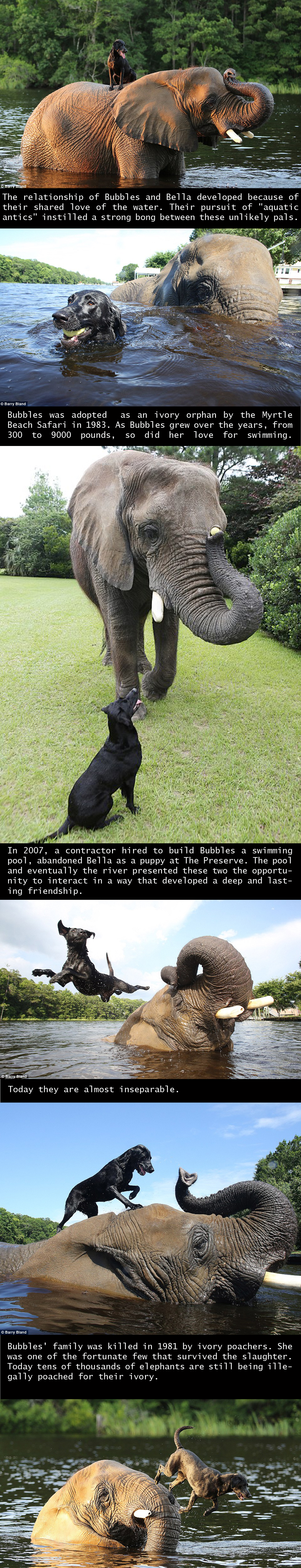 Black Lab and Elephant Become Friends