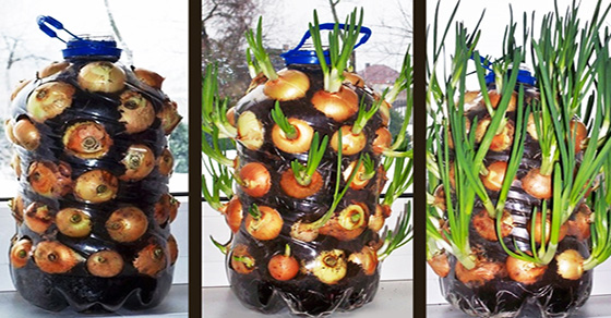 how-to-grow-onions-windowsill-fb