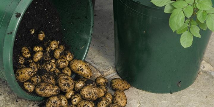 potatoes-grown-in-buckets1