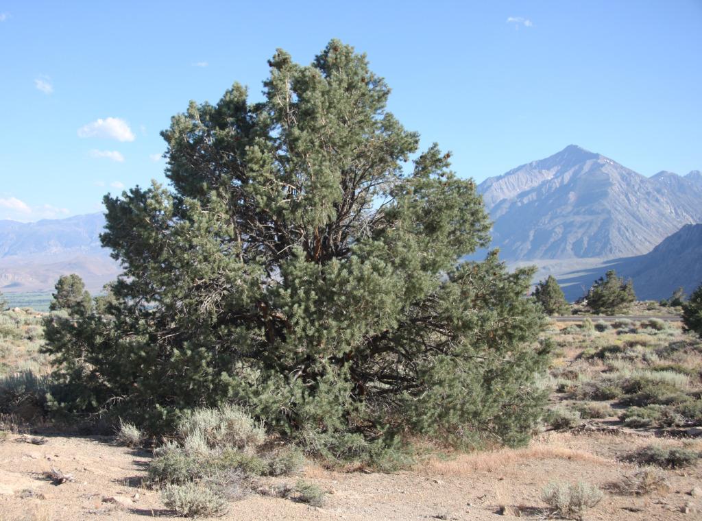 Pinyon_pine_Pinus_monophylla_in_sagebrush