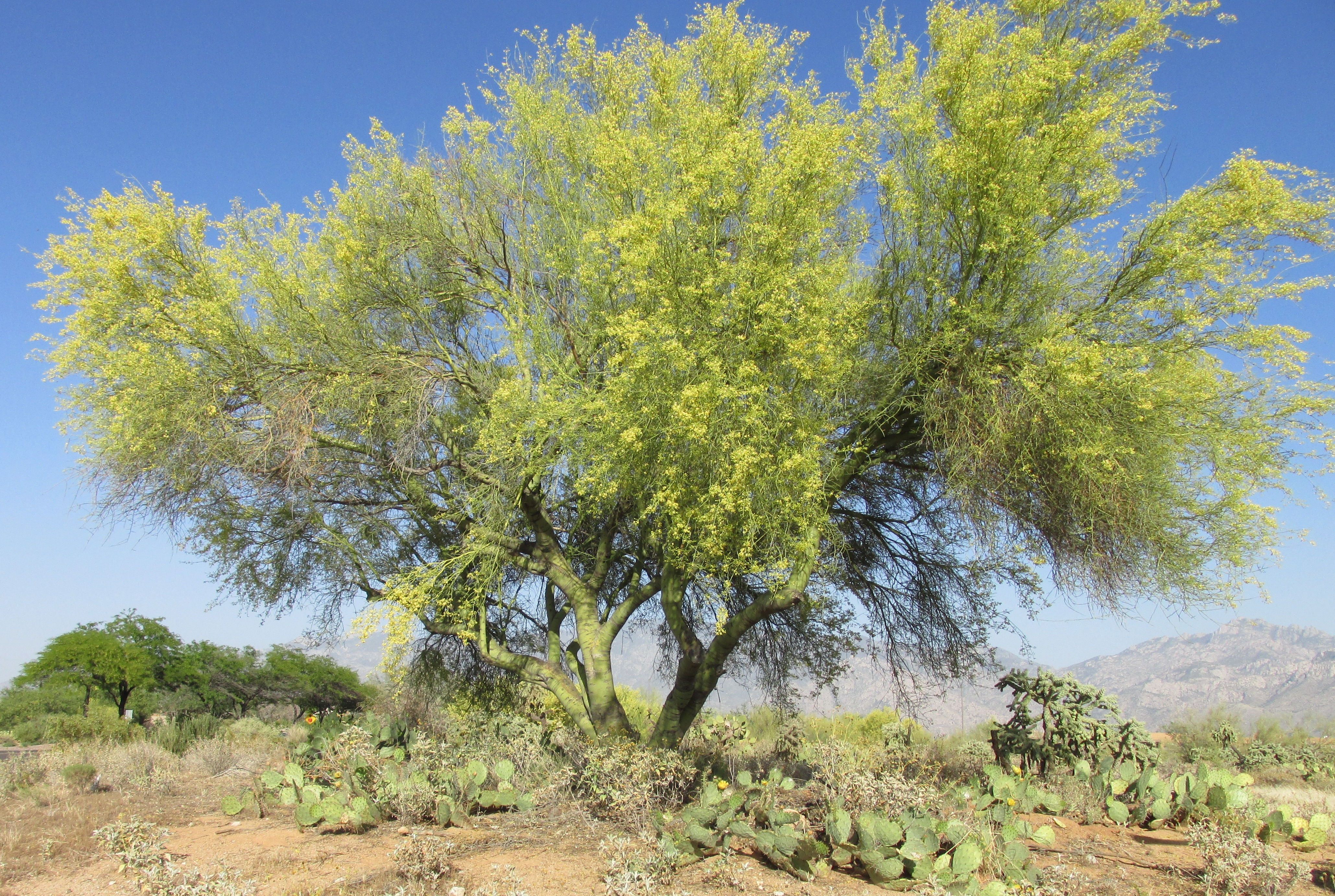 In Law Pods Common Desert Plants And Trees Produce Excellent Foods