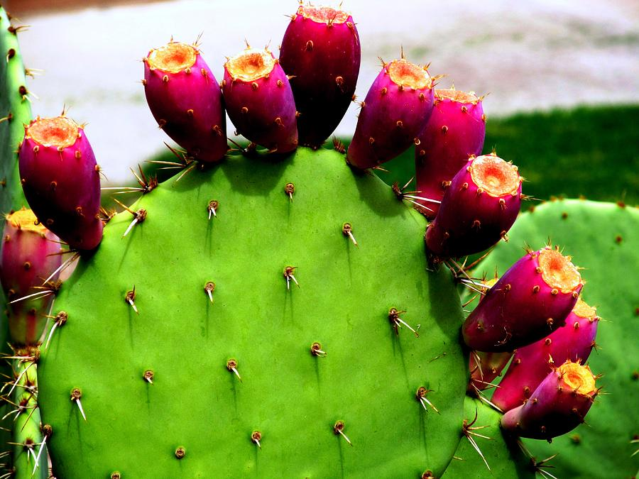 prickly-pear-cactus-with-fruit-david-killian
