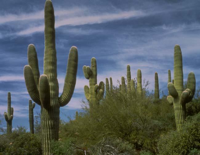 saguaro_cactus78_100-1