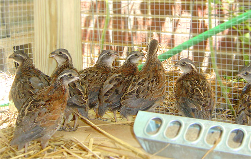 quail-kennel-house