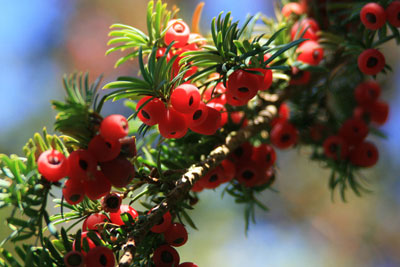 uk-yew-berries