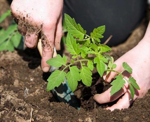 Planting_Veggies-jpg