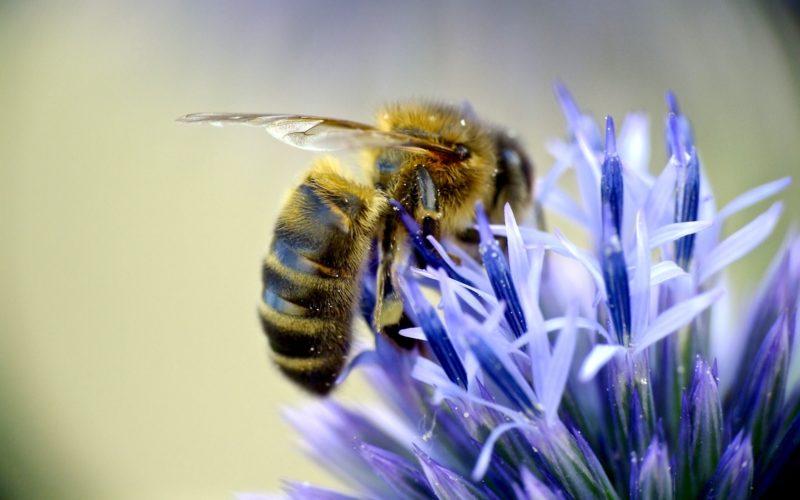 european-honeybee-948800-800x500-c-default