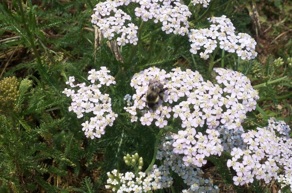 yarrow with bee