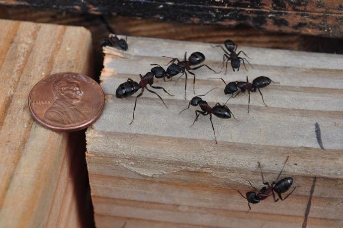 Carpenter Ants in Northern California