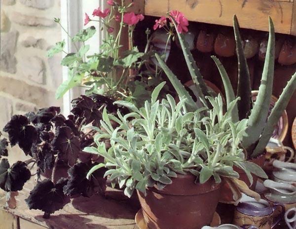 1993-as-decjan-growingplantsindoors-01-begonia-geraniums-aloe-jpg